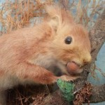Red Squirrel Taxidermy